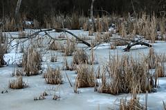 Swamp Grass (gripspix (Easter Break 4 Family)) Tags: 20190216 schwenningermoos swamp sumpflandschaft moor grass swampgrass sumpfgras büschel snow schnee