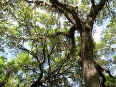 Quercus virginiana --  Live Oak Tree 2694 (Tangled Bank) Tags: san felasco state forest alachua county florida wild nature natural outdoors trail hiking plant flora botany quercus virginiana live oak tree 2694