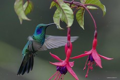 Lesser Violetear_28A8532 (Gmo_CR) Tags: colibricyanotus lesservioletear colibríorejivioláceoverde costarica paraiso del quetzal