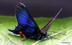 Metalmark butterfly, Aulestes Doctor, Ancyluris aulestes, Riodinidae (Ecuador Megadiverso) Tags: ancylurisaulestes andreaskay aulestesdoctor butterfly ecuador focusstack metalmark riodinidae