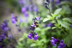The Story So Far (Keith Midson) Tags: bee garden plant plants flowers summer sigma 28mm f18