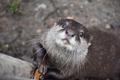 Loutre d'Asie (Lutrogale perspicillata) (Christophe Rose) Tags: lutrogale zoo animal thoiry christopherose christophe rosé smoothcoated otter safari yvelines iledefrance france loutre lutrogaleperspicillata asie mammifère mammal nikon d5600 flickr