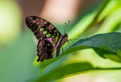 A Thinking Butterfly (Thank you, my friends, Adam!) Tags: wideangle lenses standard telephoto super closeup zoom adamzhang orlando lakemary nikkor teleconverter ngc 漂亮 nikon dslr 长焦 长焦镜头 尼康 镜头 中佛州 野生动物 保护区 单反 lens central florida wildlife macro flower beauty curve color colorful colors 色彩 多姿 beautiful gorgeous 美丽