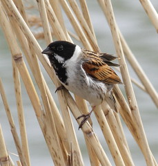 _MG_1137 Reed Bunting (sam.creighton) Tags: ef400mm 7d eos canon cambridgeshire suttongault hundredfootdrain ousewashes emberizaschoeniclus male reedbunting bunting reeds bird