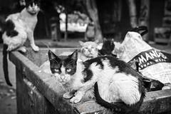 EL CAIRO/pizzicato gang (inigolai) Tags: gatscatselcairocuidadcitylife city cuidades gatos cats africa monocromo bw animales animals travel traveler tourism streetphotograhy streets garbage