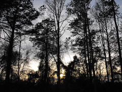 Backyard Silhouette. (dccradio) Tags: lumberton nc northcarolina robesoncounty outdoor outdoors outside nature natural backyard march friday fridayafternoon afternoon spring springtime goodafternoon goodevening evening woods wooded forest tree trees silhouette sky treebranch branch branches treebranches treelimb treelimbs fuji finepix s1000fd bridgecamera