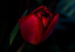 Red - Rot - Rouge - Rosso (CBrug) Tags: tulpe tulip red rot rouge