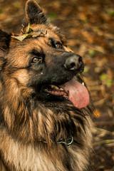 Batman, German Shepherd (meganjenks) Tags: clientphotography client fall autumn autumnal leaves germanshepherd dogs dog 50mm canon1300d canonphotographer canonphotography canon