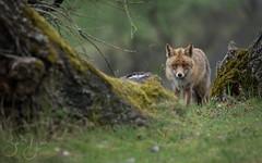 fox (Bart Hardorff) Tags: 2018 amsterdamsewaterleidingduinen barthardorff thenetherlands april fox vos