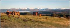 Cows and Cairngorms (Donald Noble) Tags: badenoch highland invernessshire newtonmore scotland animal colour cow cows fauna fields flora hill hills ice landscape light mammal mountain plant sheep snow tree trees water