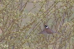 Reed bunting (Renate van den Boom) Tags: 03maart 2019 europa grootbrittannië jaar maand northyorkshire renatevandenboom rietgors staidensnaturereserve vogels yorkshire