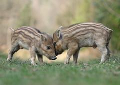 Wild Boar (Nigel Hodson) Tags: canon 1dxmkii 100400mmmk11 boar wildboar humbug wildlife wildlifephotography nature naturephotography forestofdean