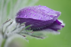 rain soaked pasque flower 23/100x 2019 (sure2talk) Tags: rainsoakedpasqueflower pasqueflower pulsatillavulgaris garden nikond7000 nikkor85mmf35gafsedvrmicro macro closeup 100xthe2019edition 100x2019 image23100 23100x2019 shallowdof bokeh