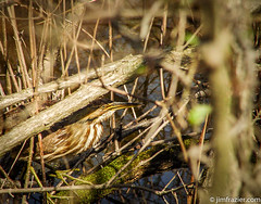 American Bittern at Magee Marsh - Semi-redux (Jim Frazier) Tags: 2003 americanbittern ambientlight animals birds branches camouflage closeup cranecreek detail fauna flora framing hidden hiding hunting jimfraziercom living macro mageemarsh marsh may natural nature ohio plants q4 spring stalking study swamp toexport water wildlife woods birding birdwatching instagram f10 fastpictures
