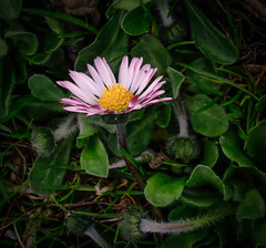 Daisy (Fay2603) Tags: natur natura nature naturell pflanzen plants piante fleurs flowers blossom blüten weis gelb white blanc bianco giallo green grün verde vert fujifilm fujixt1