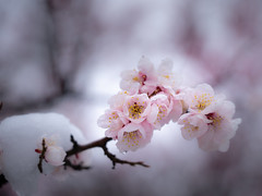 Ume blossoms with snow (Tom Hanawa) Tags: snow japanese apricot