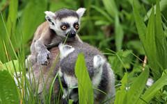 Giddy up, Mom! (AvesAg) Tags: tierpark tierparkberlin berlin zoo lemurcatta lemur ringtailedlemur katta lemuridae halbaffe maki endangered primate canon eos 6d baby young jungtier green