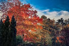 Authentic (Melissa Maples) Tags: basel switzerland europe apple iphone iphonex cameraphone autumn riehen msoriehen blue orange leaves trees