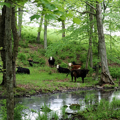 cows (wmpe2000) Tags: 2018 ct spring cows herd woods img1858aa