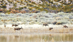 Herd Of Mule Deer By The Edge Of A Pond (Susan Roehl) Tags: bosquedelapachenationalwildliferefuge newmexico usa muledeer herd animal mammal browsing habituatedtopeople odocoileushermionus indigenoustowesternnorthamerica namedfortheirlargeears sueroehl photographictours naturalexposures panasonic lumixdmcgh4 100400mmlens handheld water pond ungulate herbivore bushes ngc coth5