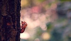 Cicada (Ξǁ Mikica Kosanović ǁΞ) Tags: bokeh sigma 60mm insect natureinfocusgroup cicada