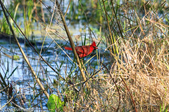 Red in the Brush - HWW (11Jewels) Tags: canon 70300 red cardinal heronshideout circlebbarreserve lakelandfl wing wingwednesday lakeland florida