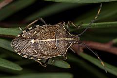 Gum Tree Shield Bug (zosterops) Tags: australia tasmania buckland omytacentrolineata hemiptera pentatomidae tasmanianbushlandgarden
