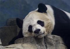 Mei Xiang Giant (Ailuropoda melanoleuca)Panda National Zoo (CGDana) Tags: national zoo smithsonian dc district us mammal mega fauna canon 7d mk2