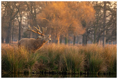 Calling All Hinds (Brian P Slade Photography) Tags: reddeer deer stag animals animalplanet animalportraits antlers springwatch winter water grass longgrass trees mammals brianpsladephotography brianpslade canonphotography canon sigmasports sigma uk ukwildlife wildlifephotography wildlife nature morning sunrise light golden environment