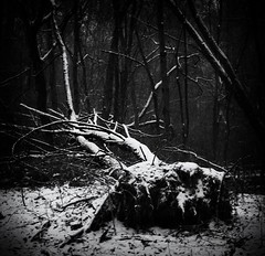 When a tree falls in the middle of the forest (RogelSM) Tags: snow tree forest bw nature outdoor landscape