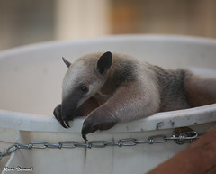 G08A4457.jpg (Mark Dumont) Tags: zoo mark dumont tamandua cincinnati