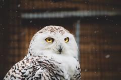 Snowy Owl❄️ (kingofwalnuts) Tags: uil owl sneeuwuil snowyowl dierenparkhoenderdaell landgoedhoenderdaell tamron18250 canon750d
