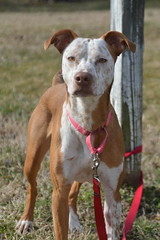 Matilda (Sapphire Dream Photography) Tags: pointer brown white spot spots spotted bog dog canine