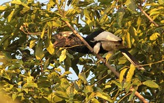 Black-and-white-casqued Hornbill (douwesvincent) Tags: uganda africa nature world outdoor natural beauty