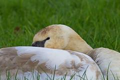 a short nap - RSPB Exminster Marshes - Exeter, Devon - Feb 2019 (Dis da fi we) Tags: short nap rspb exminster marshes exeter devon swan cygnet bird mute cygnus olor