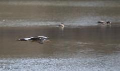 FM5A0372 (Kemp Davis) Tags: wildlife nature aquaticbird greatblueheron