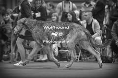 img_9999_582 (HoundPhotographer) Tags: irishwolfhound wolfhound hound crufts crufts2019 showdog dogshow