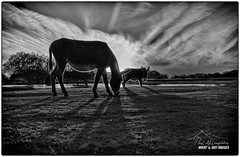'The Low Down on New Forest Donkeys' (macdad1948) Tags: pond trees sunset reflections hampshire donkey wood donkeys newforest fritham janesmoorpool shadows contrejour