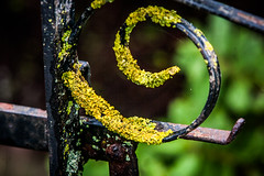 weathered gate (1 of 1) (steamnut777) Tags: green gate black lichen canon rust 1d