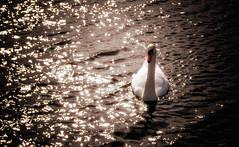 Sunset Swan (Almac1879) Tags: single tranquil floating sunrise sunset peaceful nature water landscapes scene wild wildlife bright graceful bird swan peace elegant calm lovely white