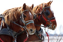 A Morning Ride At Last (Daryll90ca) Tags: clydesdale horses clydesdalehorse horse clydesdalehorses animal critter