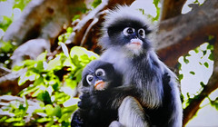 AFRICA - Monkeys: Mom and Baby (Jacques Rollet (very little available)) Tags: monkey singe africa animal