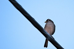 Enjoying a sunset, white crowned sparrow (jamestapatio) Tags: whitecrownedsparrow