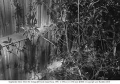 Voigtlander Ultron 35mm f/2 Vintage @f/4  #427 (lynnb's snaps) Tags: 201902 ilfordhp5 leicacl xtol bw f4 film rangefinder voigtlanderultron35mmf2vintagelinelens lenstest closestfocusdistance depthoffieldtest bokehtest dof blackandwhite bianconegro blackwhite biancoenero bianconero blancoynegro noiretblanc schwarzweis monochrome ishootfilm mmountlenses leicammount