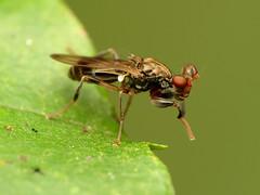 Stalk-eyed Fly (treegrow) Tags: rockcreekpark washingtondc nature lifeonearth raynoxdcr250 arthropoda insect diptera diopsidae sphyracephalabrevicornis