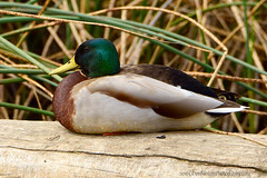 Mallard_01 (DonBantumPhotography.com) Tags: wildlife nature birds animals mallardmale duck donbantumphotographycom donbantumcom