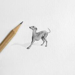 Little Dora 🔎 (@dora_figalga) Tags: miniature illustration drawing pencil illust art graphite dogportrait bw grey greyhound dog italiangreyhound iggies artwork dailyart doglover drawingexpression animalartists petlover dorafigalga