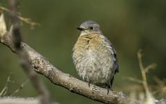Western Bluebird (f) (Bob Gunderson) Tags: birds blackdiamondminesrp bluebirds california contracostacounty eastbay northerncalifornia sialiamexicana thrushes westernbluebird
