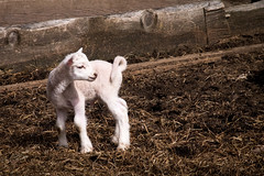Hey Mom! I'm Over Here! (lclower19) Tags: osv sturbridge sheep massachusetts 119in2019 109 ungulates lamb odc spring