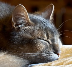 A little cat nap II (A.Hakonen) Tags: sonya6300 a6300 sel55210 sonyalpha sonyalphamirrorless sonyalphasuomi somalicat cat cats kissa somalikissa somppu